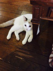 名古屋のリンパドレナージュサロンserendipityのセラピストが飼っている髭という名前の猫